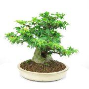 achat vente bonsai shohin - 008