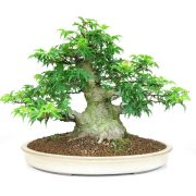 achat vente bonsai shohin - 010