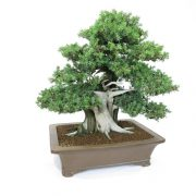 juniperus-rigida-01
