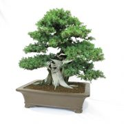 juniperus-rigida-02