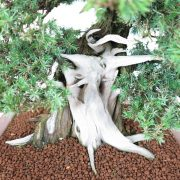 juniperus-rigida-03