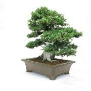 juniperus-rigida-04
