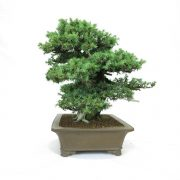 juniperus-rigida-05