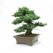 juniperus-rigida-06