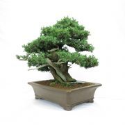 juniperus-rigida-08