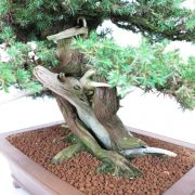 juniperus-rigida-09