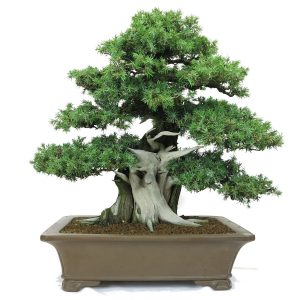 http://bonsai-shohin.com/wp-content/uploads/2017/01/juniperus-rigida-1-300x300.jpg