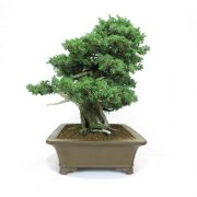 juniperus-rigida-10