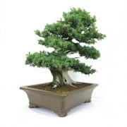 juniperus-rigida-11