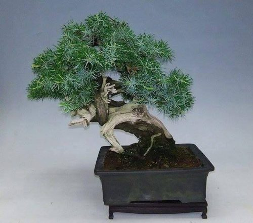 juniperus-rigida