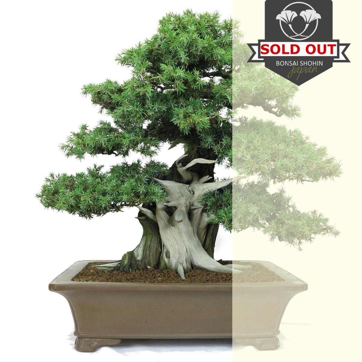 juniperus rigida vendu 2