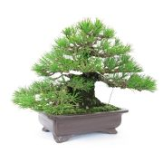 achat vente bonsai shohin - 36