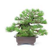 achat vente bonsai shohin - 37