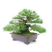 achat vente bonsai shohin - 38