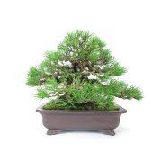 achat vente bonsai shohin - 39