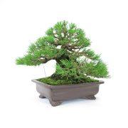 achat vente bonsai shohin - 40