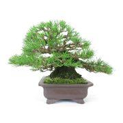 achat vente bonsai shohin - 41