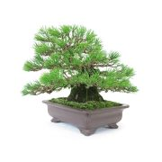 achat vente bonsai shohin - 42