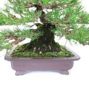 achat vente bonsai shohin - 43