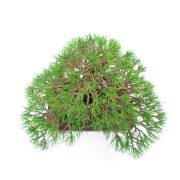 achat vente bonsai shohin - 44
