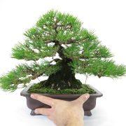 achat vente bonsai shohin - 45