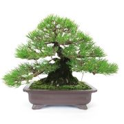 achat vente bonsai shohin - 46
