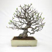 achat vente bonsai shohin - 47