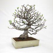 achat vente bonsai shohin - 48