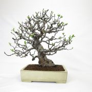 achat vente bonsai shohin - 51