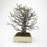 achat vente bonsai shohin - 53