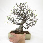 achat vente bonsai shohin - 55