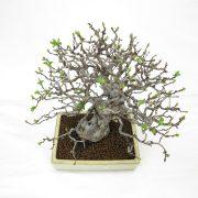 achat vente bonsai shohin - 58