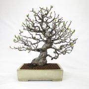 achat vente bonsai shohin - 59