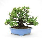 achat vente bonsai shohin - 60