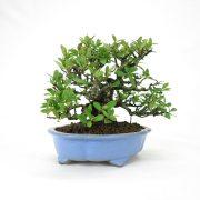 achat vente bonsai shohin - 61