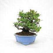 achat vente bonsai shohin - 62