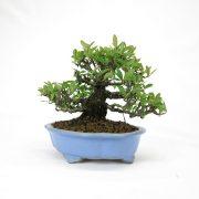 achat vente bonsai shohin - 63