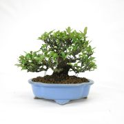 achat vente bonsai shohin - 64