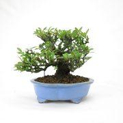 achat vente bonsai shohin - 65