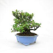 achat vente bonsai shohin - 66