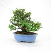 achat vente bonsai shohin - 67