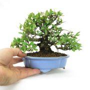 achat vente bonsai shohin - 68