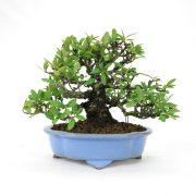 achat vente bonsai shohin - 69