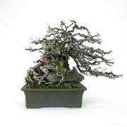 achat vente bonsai shohin - 70