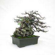 achat vente bonsai shohin - 71