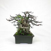 achat vente bonsai shohin - 72