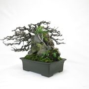 achat vente bonsai shohin - 73