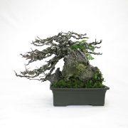 achat vente bonsai shohin - 74