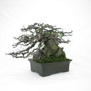 achat vente bonsai shohin - 75