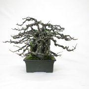 achat vente bonsai shohin - 76